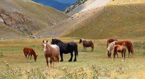 Troupeau de chevaux sauvages détendant dans les montagnes de Pyrénées, Catalogne, Espagne Image libre de droits