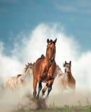 Troupeau de chevaux sauvages fonctionnant par le bord de la mer Photo libre de droits
