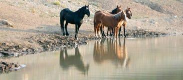 Troupeau de chevaux sauvages se reflétant dans l'eau au point d'eau dans la chaîne de cheval sauvage de montagnes de Pryor au Mon Images libres de droits