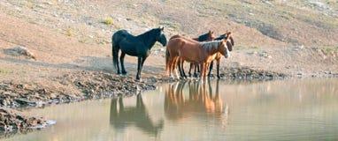 Troupeau de chevaux sauvages se reflétant dans l'eau au point d'eau dans la chaîne de cheval sauvage de montagnes de Pryor au Mon Photos stock