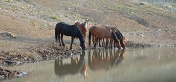 Troupeau de chevaux sauvages se reflétant dans l'eau tout en buvant au point d'eau dans la chaîne de cheval sauvage de montagnes  Image libre de droits