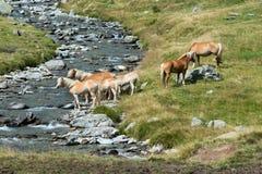Troupeau de chevaux sauvages sur une rive Photos libres de droits