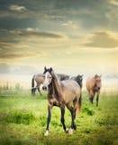 Troupeau de chevaux sur le pâturage d'été au-dessus du beau ciel d'aube Photographie stock libre de droits