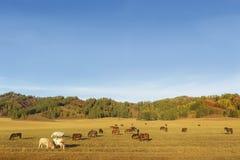 Troupeau de chevaux de vaches, paysage d'automne d'Altai de montagne Russie Photographie stock