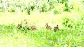 Troupeau de cinq canards sur l'herbe verte clips vidéos