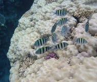 Troupeau de corail de poissons Image libre de droits