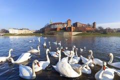 Troupeau de cygnes sur le fleuve Vistule près du château royal de Wawel, Cracovie, Pologne Photo stock
