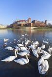 Troupeau de cygnes sur le fleuve Vistule près du château royal de Wawel, Cracovie, Pologne Photographie stock libre de droits