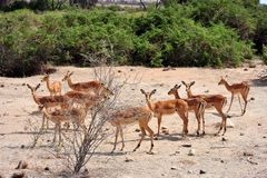 Troupeau de gazelle Photographie stock