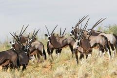 Troupeau de gemsbok Photos libres de droits