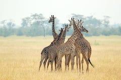 Troupeau de girafes Photographie stock
