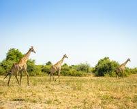 Troupeau de girafes en Afrique Photos stock