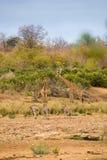 Troupeau de girafes et de zèbres se tenant dans le lit de rivière, Afrique du Sud Images stock