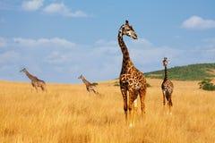 Troupeau de girafes marchant dans la savane kenyane aride Images libres de droits