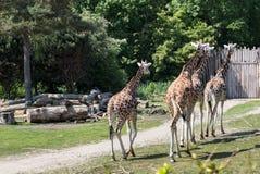 Troupeau de girafes se suivant le long Image stock