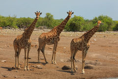 Troupeau de giraffes photographie stock libre de droits