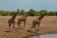 Troupeau de giraffes photos stock