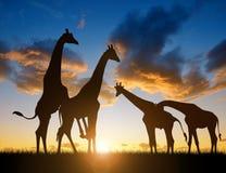Troupeau de giraffes Photo libre de droits