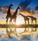 Troupeau de giraffes Image libre de droits