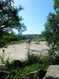 Troupeau de giraffes Image stock