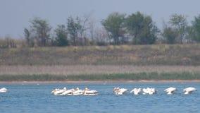 Troupeau de grand onocrotalus de Pelecanus de pélicans blancs dans le lac clips vidéos