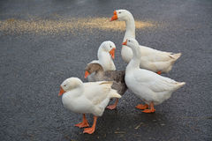 Troupeau de grandes belles oies se tenant sur la route Photo stock