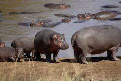 Troupeau de Hippopotamus commun Photo stock
