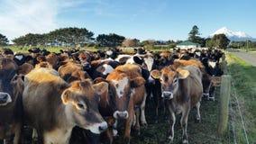 Troupeau de jeunes vaches avec Mt Taranaki à l'arrière-plan Image stock