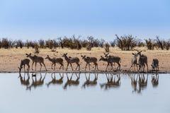 Troupeau de Kudu buvant du point d'eau Photographie stock libre de droits