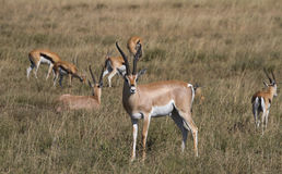 Troupeau de la gazelle de Thomson images libres de droits