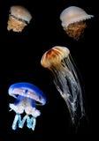 Troupeau de la natation tropicale de méduses dans l'image de verticale d'océan Photographie stock