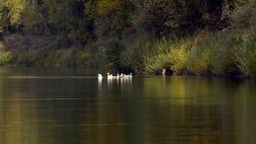 Troupeau de lac geese banque de vidéos