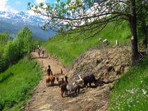Troupeau de lama de lamas sur le chemin alpin avec des marcheurs de randonneurs Photos libres de droits