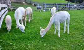Troupeau de lamas d'alpaga frôlant l'herbe Images stock