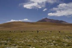 Troupeau de lamas dans le paysage de l'altiplano en Bolivie image libre de droits