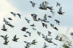 Troupeau de libération de pigeon d'emballage de vitesse de vol des bas de concurrence photo stock