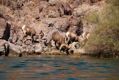 Troupeau de longs moutons de klaxon de désert Image stock