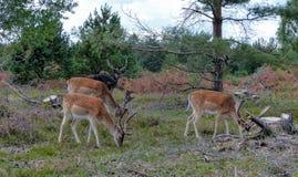 Troupeau de mâle de cerfs communs Photographie stock
