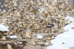 Troupeau de migration des moineaux en vol Photo libre de droits