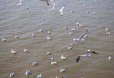 Troupeau de mouette flottant sur la nourriture de attente de mer des humains Photo stock