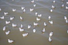 Troupeau de mouette flottant sur la nourriture de attente de mer des humains Photographie stock libre de droits
