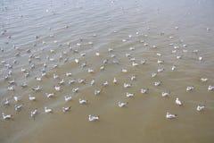 Troupeau de mouette flottant sur la nourriture de attente de mer des humains Images stock