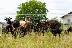 Troupeau de mouflons photo libre de droits