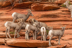 Troupeau de mouflons d'Amérique de désert Photos libres de droits