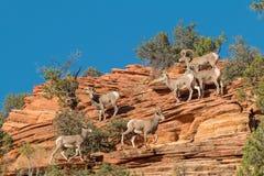 Troupeau de mouflons d'Amérique de désert Photographie stock libre de droits