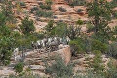 Troupeau de mouflons d'Amérique de désert Images stock