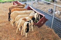 Troupeau de moutons Photos libres de droits