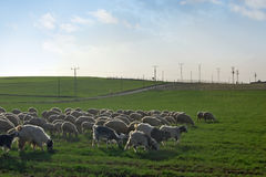 Troupeau de moutons Images stock