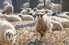 Troupeau de moutons Images libres de droits