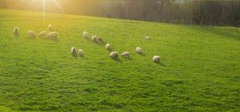 Troupeau de moutons au coucher du soleil sur Urnieta Photos stock